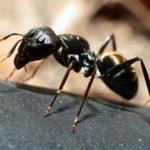 Ant Treatments
